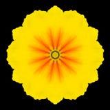 Желтый калейдоскоп мандалы цветка изолированный на черноте Стоковое Изображение RF