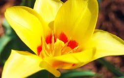 Желтый конец-вверх тюльпана Стоковые Изображения RF