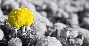 Желтый конец-вверх цветка Стоковые Изображения RF