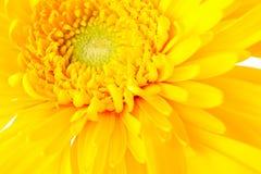 Желтый конец маргаритки вверх Стоковое Изображение