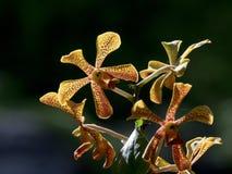 Желтый конец орхидеи Trichoglottis вверх Стоковая Фотография RF