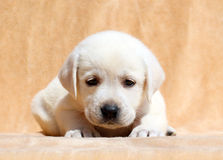 Желтый конец портрета щенка labrador вверх Стоковые Изображения