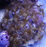 Желтый коралл полипа Стоковые Изображения