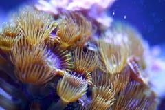 Желтый коралл циновки моря полипа Стоковые Изображения