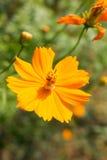 Желтый космос цветка на предпосылке природы Стоковое Фото