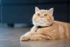 Желтый кот сидя в доме на деревянном поле Стоковые Изображения RF