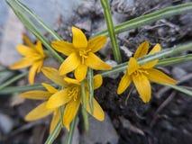 Желтый крокус Стоковое фото RF