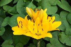 Желтый крупный план лилии стоковые изображения rf