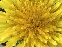 Желтый крупный план цветка Стоковое Изображение