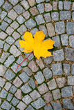 Желтый кленовый лист на плитке дороги Стоковые Изображения RF
