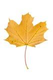 Желтый кленовый лист осени изолированный на белой предпосылке Стоковая Фотография RF