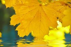Желтый кленовый лист отразил в воде на предпосылке парка осени Стоковые Изображения