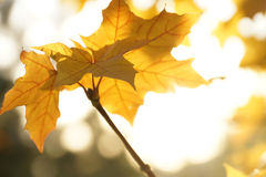 Желтый кленовый лист Стоковые Изображения