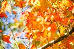 Желтый кленовый лист Стоковое Изображение