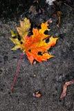 Желтый кленовый лист Стоковые Фотографии RF