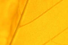 Желтый кленовый лист Стоковое Фото