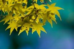 Желтый клен стоковое изображение rf