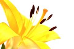 Желтый макрос лилии Стоковые Изображения RF