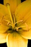 Желтый макрос пасхи Lilly Стоковое Фото