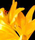 Желтый макрос пасхи Lilly Стоковые Изображения RF