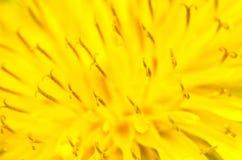 Желтый макрос цветка одуванчика Стоковая Фотография