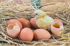 Желтый малый цыпленок с раковиной Стоковое Фото
