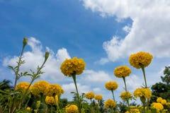 Желтый ноготк в саде Стоковые Фотографии RF