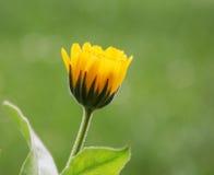 Желтый ноготк в sunhine лета Стоковые Фото