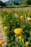 Желтый ноготк Стоковая Фотография RF