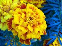 Желтый ноготк стоковые изображения
