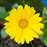 Желтый ноготк Стоковая Фотография