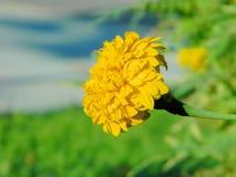 Желтый ноготк Стоковое Изображение RF