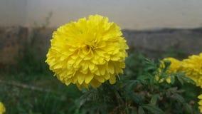 Желтый ноготк Стоковое Изображение