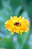 Желтый ноготк Стоковые Изображения RF