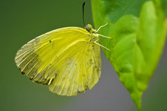 Желтый окунь бабочки на лист Стоковая Фотография RF