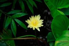 Желтый лотос Стоковое Изображение