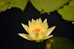 Желтый лотос Стоковая Фотография