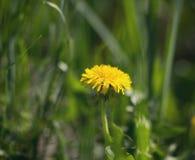 Желтый одуванчик в траве Предпосылка лета Стоковые Фото