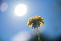 Желтый одуванчик на предпосылке голубого неба Стоковые Фото