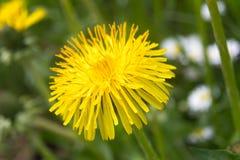 Желтый одуванчик Стоковое Фото