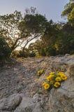 Желтый одуванчик Стоковые Фотографии RF