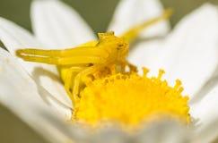Желтый паук краба в представлении звероловства Стоковые Изображения