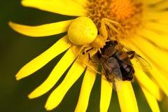 Желтый паук graping муха Стоковые Изображения RF
