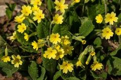 Желтый первоцвет Стоковые Фотографии RF