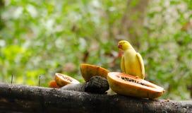 Желтый попугай ест папапайю Стоковая Фотография