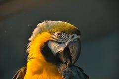 Желтый портрет попугая Стоковое Фото