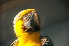 Желтый портрет попугая Стоковые Изображения RF