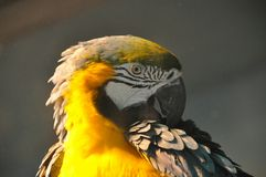 Желтый портрет попугая Стоковые Фото