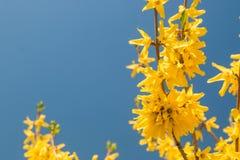 Желтый принуждать цветет europaea Forsythia весной против голубого неба Стоковое фото RF