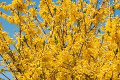 Желтый принуждать цветет europaea Forsythia весной против голубого неба Стоковое Изображение RF